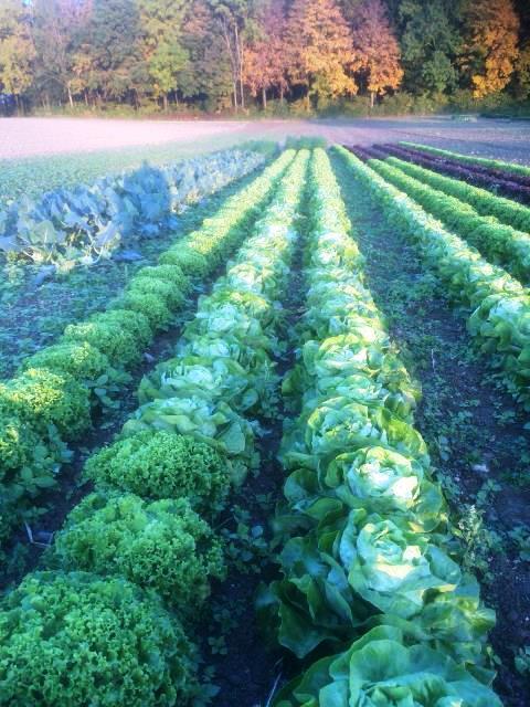 Salatfeld