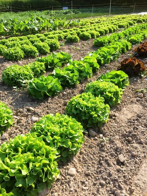 Salat für den Markt